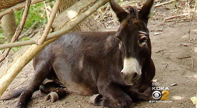 Teens attacked the donkey after it screamed out. Source: KDKA