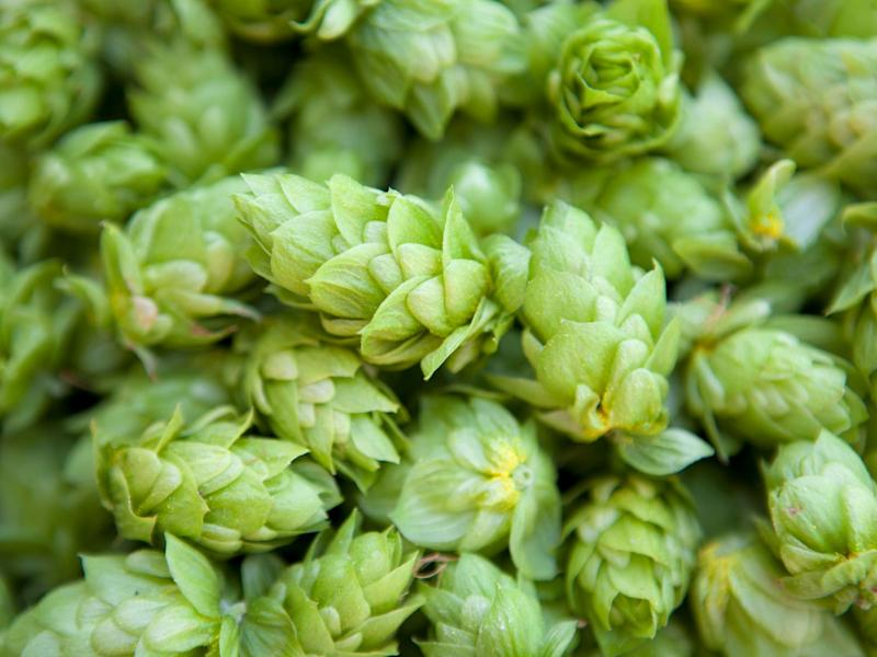 Fresh Hops Can Be Harvested Year-Round, Paving the Way for More Wet Hop Beers