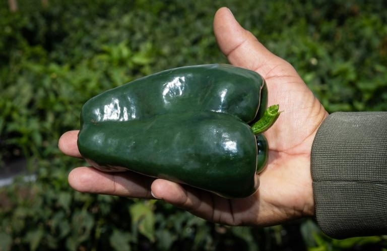 Asuncion Diaz shows off a poblano chile at his plantation in San Andres Calpan, Puebla state (AFP Photo/Omar TORRES)