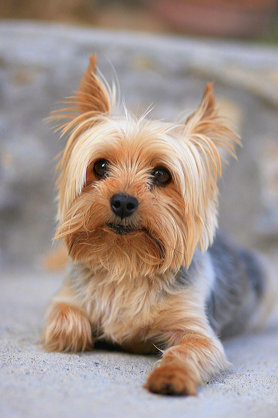 """<p>Sweet-faced little <a href=""""https://www.goodhousekeeping.com/life/pets/advice/g1829/toy-dog-breeds-miniature/?slide=5"""" rel=""""nofollow noopener"""" target=""""_blank"""" data-ylk=""""slk:Yorkies"""" class=""""link rapid-noclick-resp"""">Yorkies</a><span class=""""redactor-invisible-space""""> fit in purses and laps, but their small size packs a ton of attitude. Their fine hair has a texture that's more similar to humans' than other kinds of fur, so it won't make you sneeze. But groom-averse, beware: Yorkies do require regular brushing and maintenance to stay tangle-free and silky soft.</span></p>"""