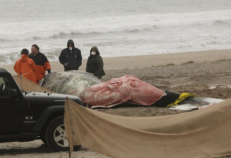 Investigators are probing the reasons behind an unusually high number of humpback whale deaths since 2016 off the US Atlantic Coast