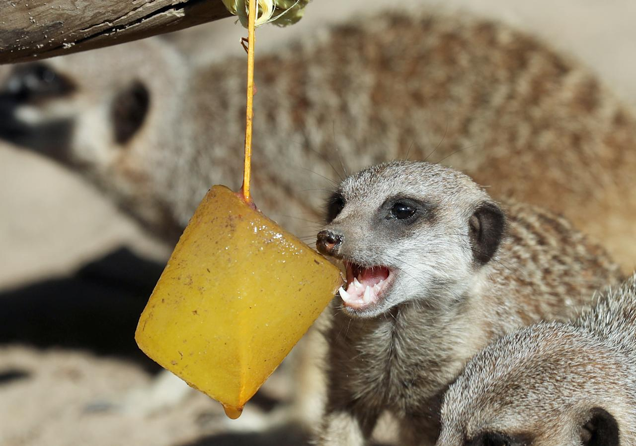 <p>A meerkats enjoys a fruit-flavoured ice lolly at Blair Drummond Safari Park near Stirling, as the heatwave is forecast to continue as temperatures are predicted to soar into the weekend. (PA) </p>
