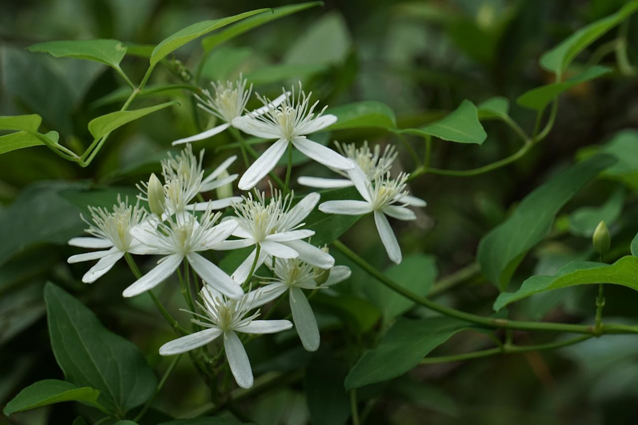 """<p><i><a href=""""https://www.southernliving.com/plants/clematis"""">Clematis terniflora</a></i></p> <p>Because this is a vigorous grower and easily self-sows, it's a good idea to wrangle it into a pot to enjoy it—and contain it—through the fall months. It has beautiful, glossy, deep green leaves and bursts out with an abundance of fragrant white blooms in late summer and fall.</p>"""