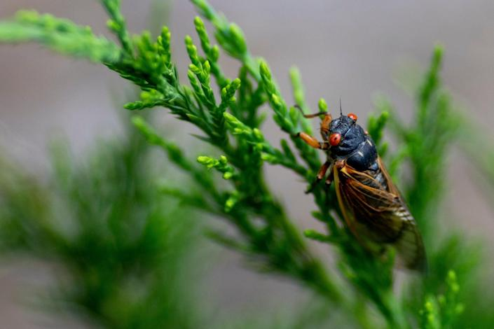 A Cicada from Brood X rests on an evergreen in West Price Hill on Wednesday, May 19, 2021.