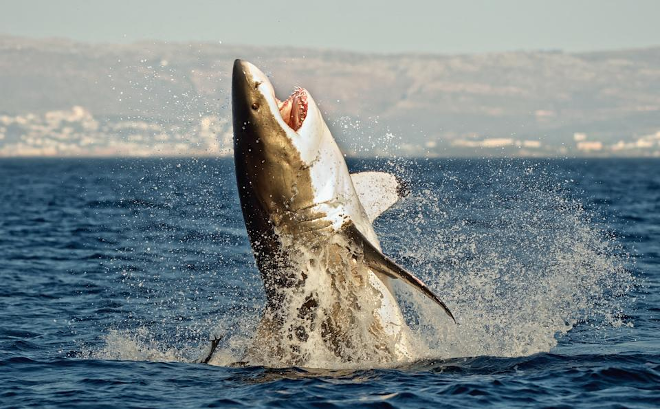 A large shark jumps out of the water.