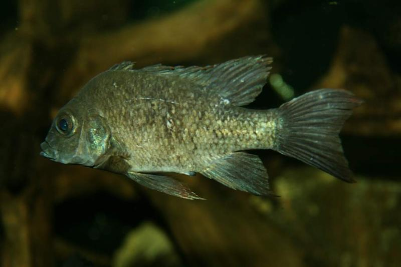 An undated image made available by Berlin Zoo of a female Mangarahara cichlid, who is no longer living. Aquarists at ZSL London Zoo are launching an urgent worldwide appeal Friday, May 10, 2013, to find a female mate for the last remaining males of a critically endangered fish species. The Mangarahara cichlid (Ptychochromis insolitus) is believed to be extinct in the wild, due to the introduction of dams drying up its habitat of the Mangarahara River in Madagascar, and two of the last known individuals are residing in the Zoological Society of London's, London Zoo aquarium. (AP Photo/Berlin Zoo)