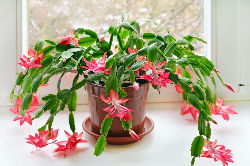 """<p>The arching form of this flowering plant works beautifully in a hanging pot. Keep your eye out for different species throughout the year, since flower colors vary by season. Give it bright light, and water when the soil is completely dry.</p><p><a class=""""link rapid-noclick-resp"""" href=""""https://www.amazon.com/Hirts-Pink-Christmas-Cactus-Plant/dp/B000UVUIN8/?tag=syn-yahoo-20&ascsubtag=%5Bartid%7C10055.g.32440507%5Bsrc%7Cyahoo-us"""" rel=""""nofollow noopener"""" target=""""_blank"""" data-ylk=""""slk:SHOP CHRISTMAS CACTUS"""">SHOP CHRISTMAS CACTUS</a></p>"""