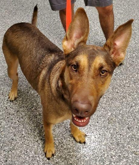 German Shepard mix, Roadie, was found tied to a tree with a note left in her collar. Source: Pet Finder