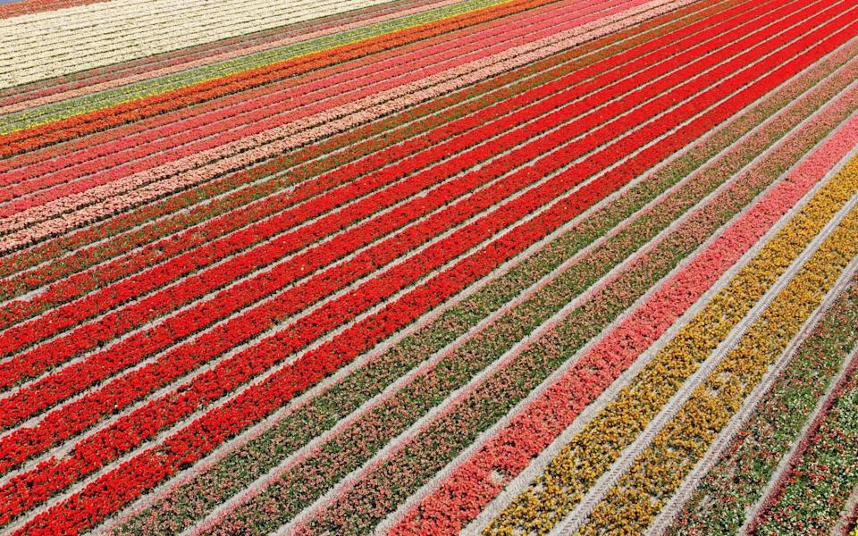 Rows of flowers in Lisse, Netherlands - Reuters