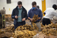 """Tobacco auctioneers inspect the tobacco crop before an auction in Harare, Thursday, April 8, 2021. Zimbabwe's tobacco is flourishing again. And so are the auctions where merchants are fetching premium prices for the """"golden leaf"""" that is exported around the world. Many of the small-scale farmers complain they are being impoverished by middlemen merchants who are luring them into a debt trap. (AP Photo/Tsvangirayi Mukwazhi)"""