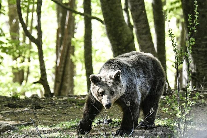 The bears live in five hectares of beech forest on the mountain, donated by the local municipality (AFP Photo/Aris MESSINIS)