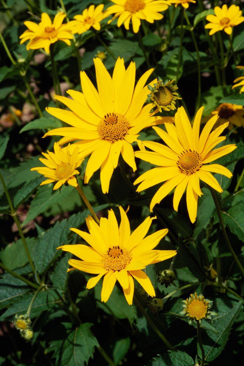"""<p>Though this flower's common name is """"false sunflower,"""" it's no less beautiful. Plant some in the late spring and get ready to see these blooms come fall. </p><p><strong>Zones: 3-9</strong></p>"""