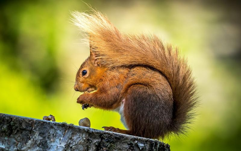 Squirrels have a cellular process which prevents them getting brain damage when they hibernate - Copyright (c) 2016 Rex Features. No use without permission.