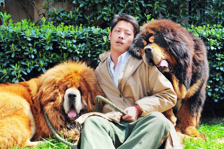 One of the Tibetan mastiffs (L) was sold in China for almost $2 million, a report said on March 19, in what could be the most expensive dog sale ever