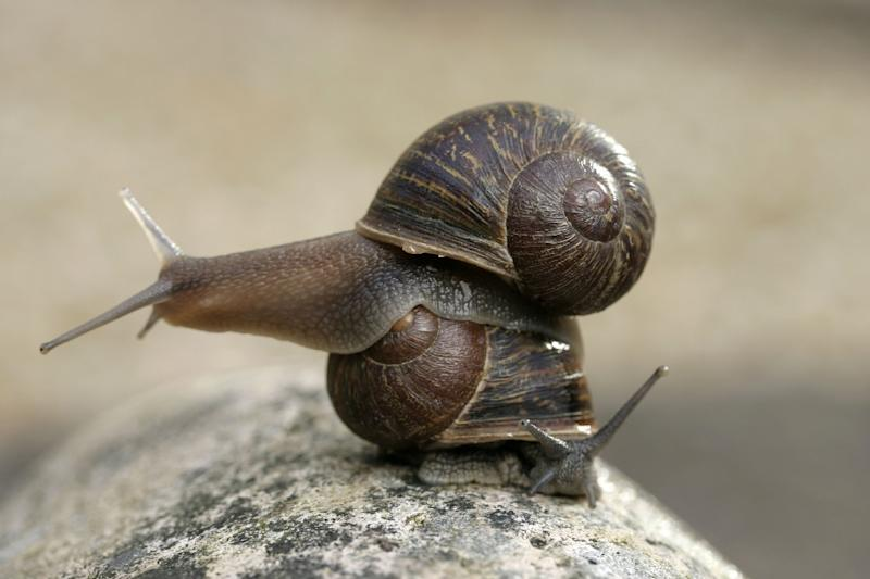 Jeremy the 'lefty' snail, has a shell whose spirals turn in an anti-clockwise direction, meaning that he cannot mate with the majority of the world's snail population