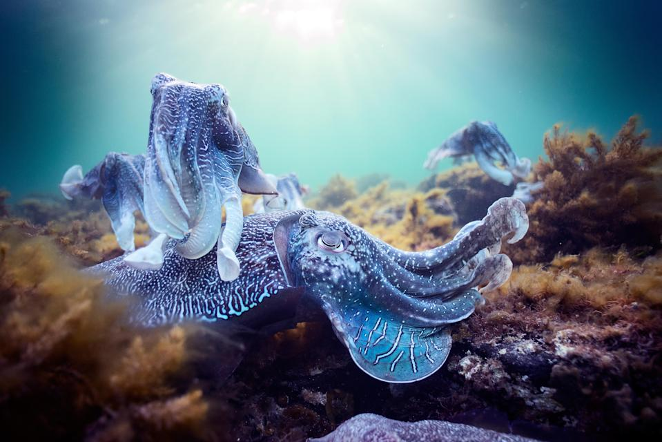 Giant cuttlefish in Whyalla, South Australia, gathering together to mate. (Photo: Hugh Miller/BBC America)