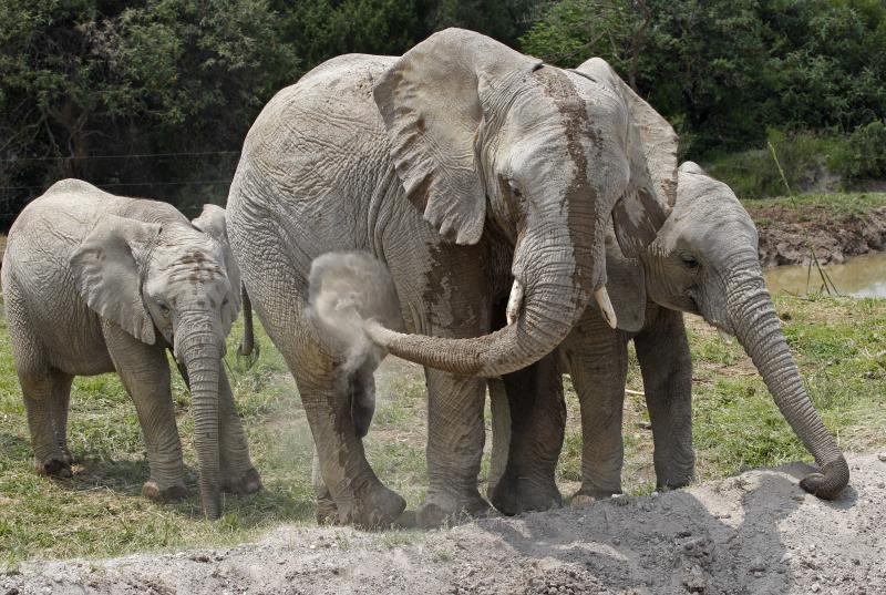 """In this photo taken Friday, June 8, 2012, """"sub-adults"""" African elephants spray themselves with dirt while roaming in their new habitat of the Africam Safari wildlife preserve, near Puebla, Mexico. The nine elephants from Namibia needed a new home and the owner of a 900-acre wildlife preserve in central Mexico jumped at the chance to buy them and add them to his menagerie that includes ostriches, lemurs, giraffes, zebras and monkeys. (AP Photo/Andres Leighton)"""