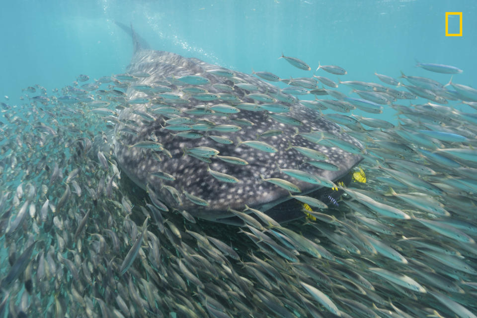 <p>A whale shark and school of anchovies swim by at Mafia Island, Tanzania. The shark and schooling fish are often seen together as they both are after the same planktonic prey, sergestid shrimp. (Steve De Neef/National Geographic Nature Photographer of the Year contest) </p>