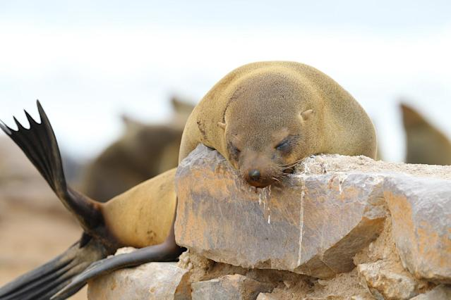 <p>A Cape fur seal sleeps on a wall near the parking area for visitors at the Cape Cross seal colony along the Skeleton Coast of Namibia. (Photo: Gordon Donovan/Yahoo News) </p>