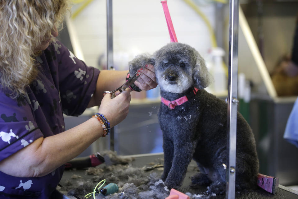 """Dog Groomer Karen Gulla, of Norwood, Mass., left, gives a haircut to """"Coco,"""" a toy poodle, at Pampered Puppies, Wednesday, May 27, 2020, in Wellesley, Mass. Pet grooming is among businesses that were allowed to open Monday, May 25 in Massachusetts after being closed for about two months due to the coronavirus pandemic. (AP Photo/Steven Senne)"""