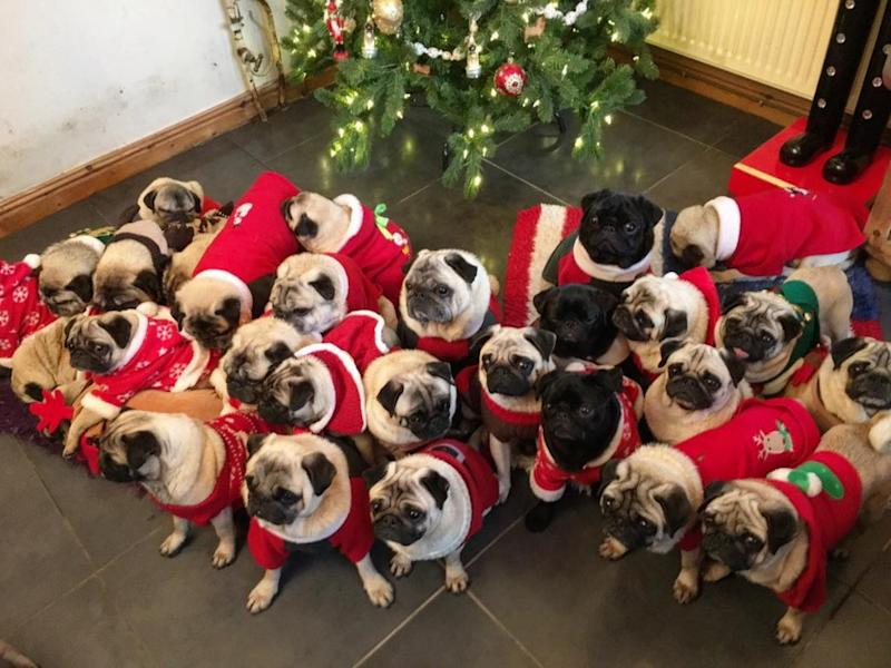 The gang's all here! Well, almost. It's hard to get all 30 pugs in one photo. (Photo: Courtesy of Instagram/bubblebeccapugs)