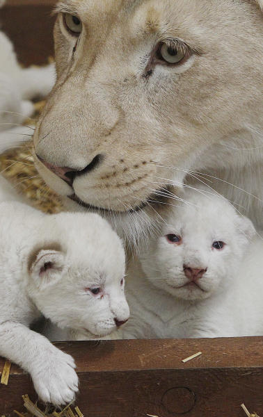 White lioness Azira lies in their cage with two of her three white cubs that were born last week in a private zoo in Borysew, in central Poland, on Tuesday, Feb. 4, 2014. Zoo owner Andrzej Pabich says white lions often have defects the prevent giving birth, or the mother rejects her cubs, but two and a half-year-old Azira has been patiently feeding and caring for her little ones, as three and a half-year-old Sahim, who fathered them, watches from a neighboring cage. (AP Photo/Czarek Sokolowski)