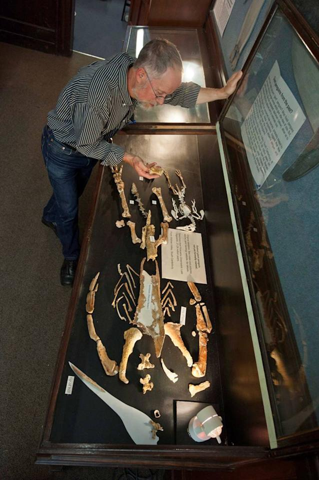 In this photo released by New Zealand's University of Otago, Ewan Fordyce, a professor of geology at the university, examines a composite skeleton of a giant penguin called a Kairuku at the university in Otago, New Zealand Wednesday, Feb. 29, 2012. It's taken 26 million years, but scientists say getting the first glimpse at what a long-extinct giant penguin looked like was worth the wait. Experts from New Zealand and the United States have reconstructed the fossil skeleton of one of the giant sea birds for the first time, revealing long wings, a slender build and a spearlike bill that have them describing it as one elegant bird. (AP Photo/University of Otago, Gabriel Aguirre) MANDATORY CREDIT