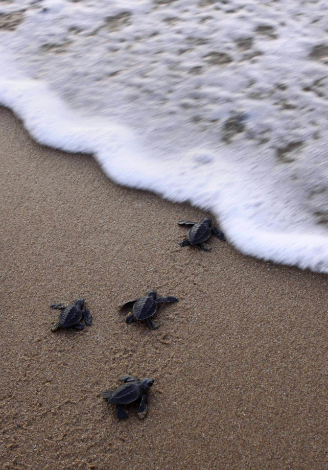 Newly hatched baby Olive Ridley turtles wade to enter the sea at the Rushikulya river mouth beach in Ganjam district, about 140 kilometers away from the eastern Indian city Bhubaneshwar, India, Tuesday, April 26, 2011. Millions of baby Olive Ridley turtles are hatching and entering the Bay of Bengal sea in the coast of Orissa since the past few days.