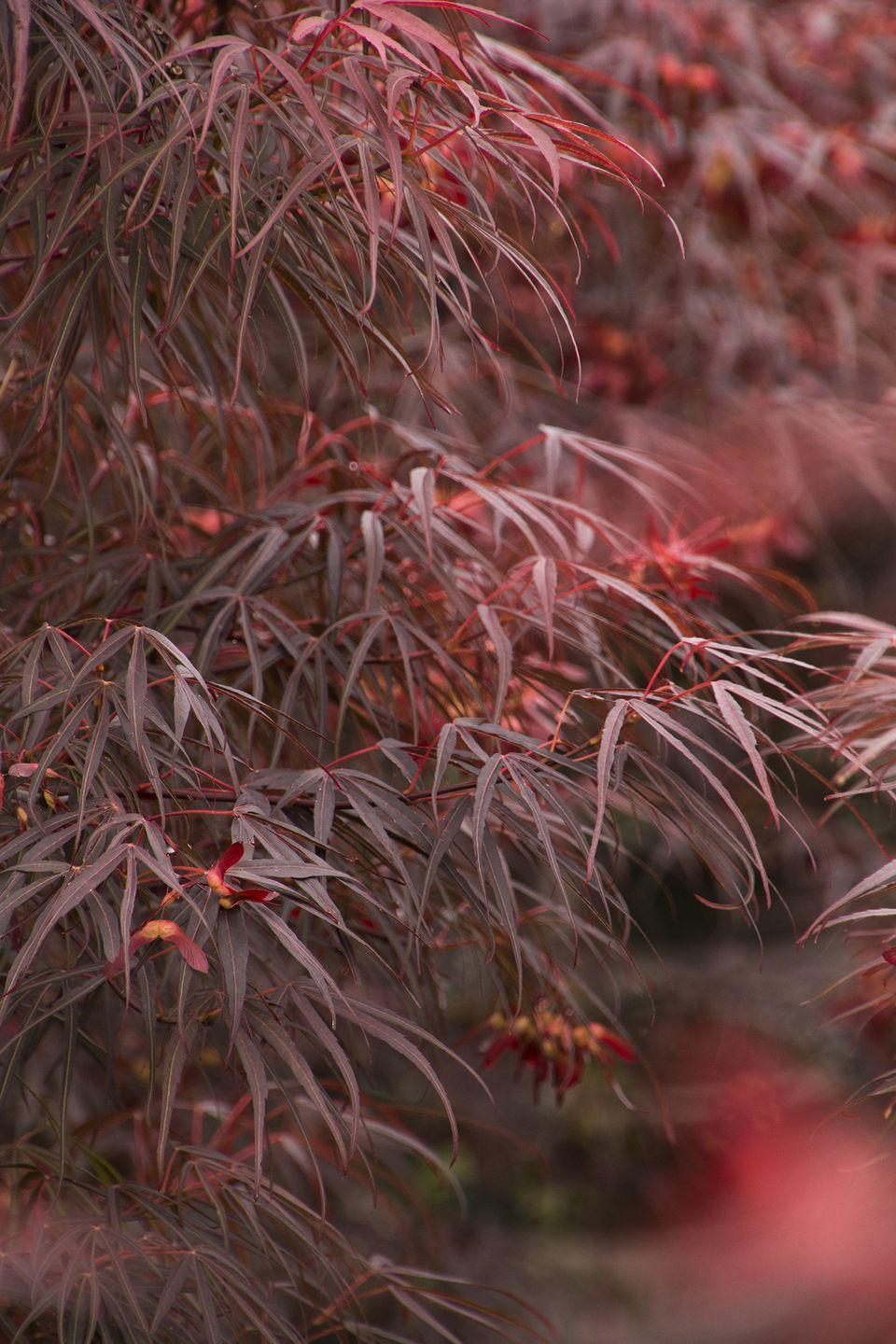 """<p><strong>Zones 5 – 9</strong></p><p><a class=""""link rapid-noclick-resp"""" href=""""https://www.monrovia.com/plant-catalog/plants/5555/ribbon-leaf-japanese-maple/"""" rel=""""nofollow noopener"""" target=""""_blank"""" data-ylk=""""slk:SHOP NOW"""">SHOP NOW</a></p><p>""""One of the best trees for a small space has to be a Japanese maple,"""" Karam says. """"The striking foliage, the graceful shape, the architecture of the branches in winter. It's a killer!"""" This particular variety features textured leaves that start red in spring, go bronze in summer, and then turn brilliant orange in fall. Full to partial sun spots in cooler climates and dappled or afternoon shade in extremely hot areas work best. Expect to see this showstopper grow up to <strong>12 feet tall and wide</strong>. </p>"""