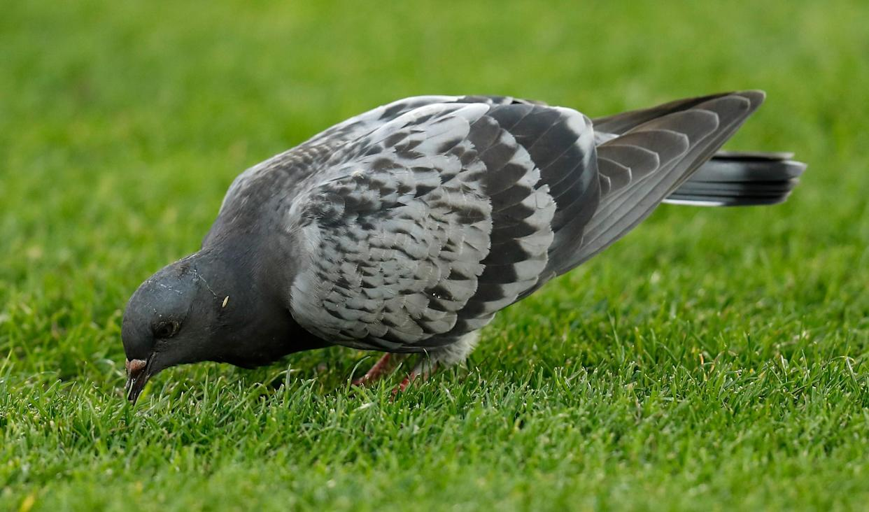 MELBOURNE, AUSTRALIA - APRIL 05: A pigeon is seen during the 2021 AFL Round 03 match between the Geelong Cats and the Hawthorn Hawks at the Melbourne Cricket Ground on April 05, 2021 in Melbourne, Australia. (Photo by Michael Willson/AFL Photos via Getty Images)