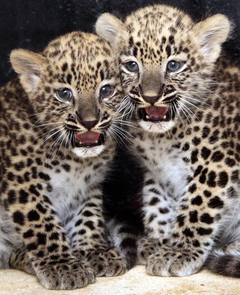 Caucasian leopard cubs Kian and Shiwa (Panthera pardus saxicolor) sit in the zoo in Chemnitz , eastern Germany Monday Aug. 22, 2011. Both were born on July 3, 2011. (AP Photo/dapd/ Uwe Meinhold)