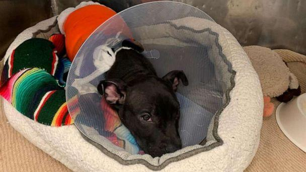 PHOTO: Tyler, a 3-month-old pit bull puppy, was rescued by a Good Samaritan after being deliberately lit on fire with a blow torch. He is currently recovering at the Ramapo-Bergen Animal Refuge in Oakland, New Jersey. (Ramapo-Bergen Animal Refuge)