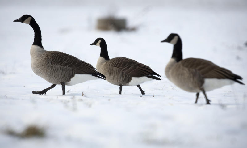 Geese look for food in a snowy field in Guilford, Connecticut December 15, 2013. A large winter storm that dumped snow across the U.S. Midwest and East Coast swept into its final stage as it passed over New England on Sunday, with forecasters predicting a foot (30.48 cm) or more of snow in Maine. REUTERS/Carlo Allegri (UNITED STATES - Tags: SOCIETY ANIMALS ENVIRONMENT)