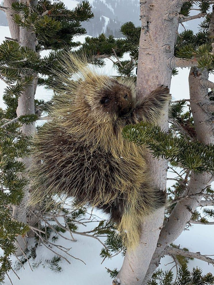 "According to NWF: Riding a chairlift at a Colorado ski resort, David Terbush spotted a porcupine climbing down a tree. Hoping for a closer look at this ""amazing creature,"" he skied down to the site and saw the animal just starting to climb up again. Terbush grabbed his iPhone and caught a few frames, leaving quickly to avoid stressing the porcupine. ""We keep pushing animals into smaller spaces,"" he says. ""These poor little guys are just trying to survive."" DAVID TERBUSH, 2020 National Wildlife® Photo Contest"