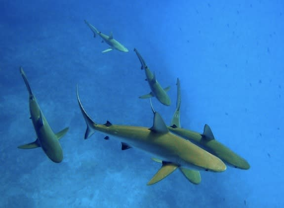 Gray reef sharks (Carcharhinus amlyrhynchos) at Kure Atoll in the Papahanaumokuakea Marine National Monument, Hawaii.