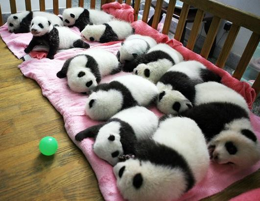 A group of giant panda cubs naps at a nursery in the research base of the Giant Panda Breeding Centre in Chengdu, in southwest China's Sichuan province. China has launched its once-a-decade panda census, trying to determine how many of the endangered animals live in the wild amid efforts to boost numbers