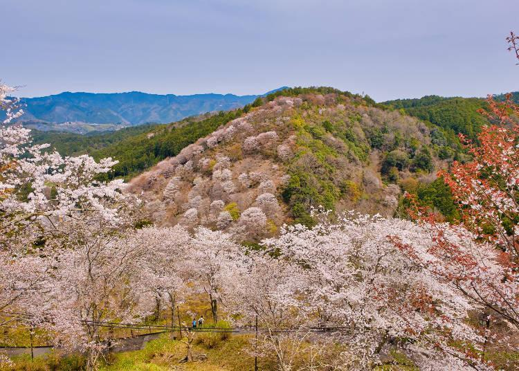 """The cherry blossoms bloom in sequence, beginning with the """"lower thousand"""" trees"""