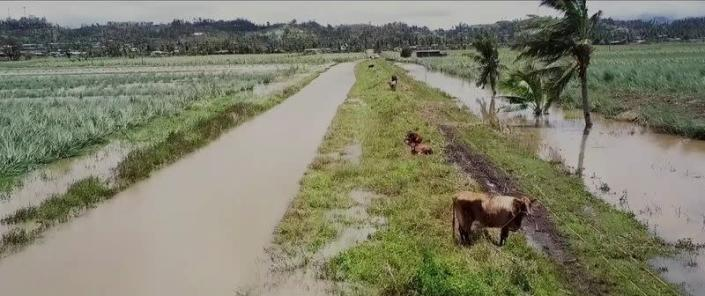 A view shows cattle grazing on partially flooded land in the aftermath of Cyclone Yasa in Wailevu, Vanua Levu, Fiji