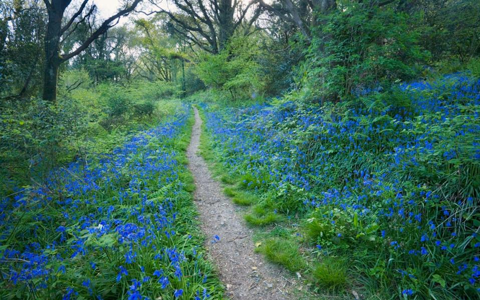 Footpath through Holyford Woods adorned with bluebells - James Osmond/The Image Bank RF