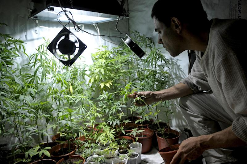 Juan Vaz, activist and marihuana grower, shows marihuana plants he is growing with some friends in Montevideo, Uruguay,Wednesday, Nov. 14, 2012. Uruguayans used to call their country the Switzerland of Latin America, but its faded grey capital seems a bit more like Amsterdam now that its congress has legalized abortion and is drawing up plans to sell government-grown marijuana. (AP Photo/Matilde Campodonico)
