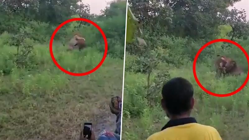 MP Parimal Nathwani Fires Notorious People Taking Videos of Lion Hunting in Gir Forest for 'Cheap Publicity' on Twitter Tagging Gujarat Forest Dept. (Watch Viral Video)