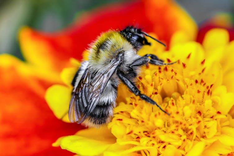 "<span class=""caption"">A 2019 study showed that 83% of children could not identify a bumblebee.</span> <span class=""attribution""><a class=""link rapid-noclick-resp"" href=""https://www.shutterstock.com/image-photo/bumblebee-collects-pollen-marigold-1578603103"" rel=""nofollow noopener"" target=""_blank"" data-ylk=""slk:Shutterstock/ValeriyMashuk"">Shutterstock/ValeriyMashuk</a></span>"