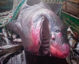 <p>A shark caught up in the net is seemingly devoid of teeth (CEN) </p>