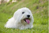 """<p>The AKC describes <a href=""""https://www.akc.org/dog-breeds/coton-de-tulear/"""" rel=""""nofollow noopener"""" target=""""_blank"""" data-ylk=""""slk:Coton de Tulears"""" class=""""link rapid-noclick-resp"""">Coton de Tulears</a>, a.k.a. the """"Royal Dog of Madagascar,"""" as charming, bright, happy-go-lucky little fur babies, which make them the perfect companion for just about anyone. They're playful and are bound to follow their human around the house. Cotons do shed occasionally but not overwhelmingly and require regular grooming. </p>"""