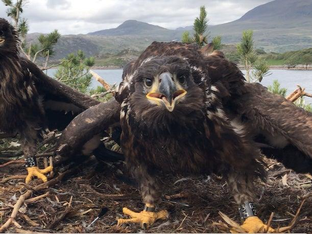 <p>Young white-tailed eagles in a nest in Scotland</p> (Ken Hill Estate)