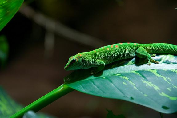 Cut Here: Gecko Tails Rip Off Along 'Dotted' Line