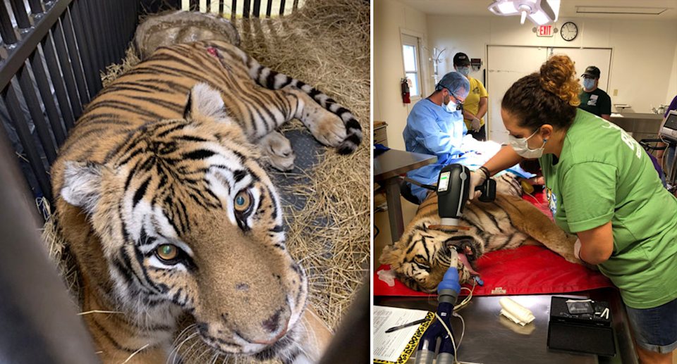 Left - Aria the tiger looking sad in a cage. Right - Aria undergoing surgery with a vet standing over her.
