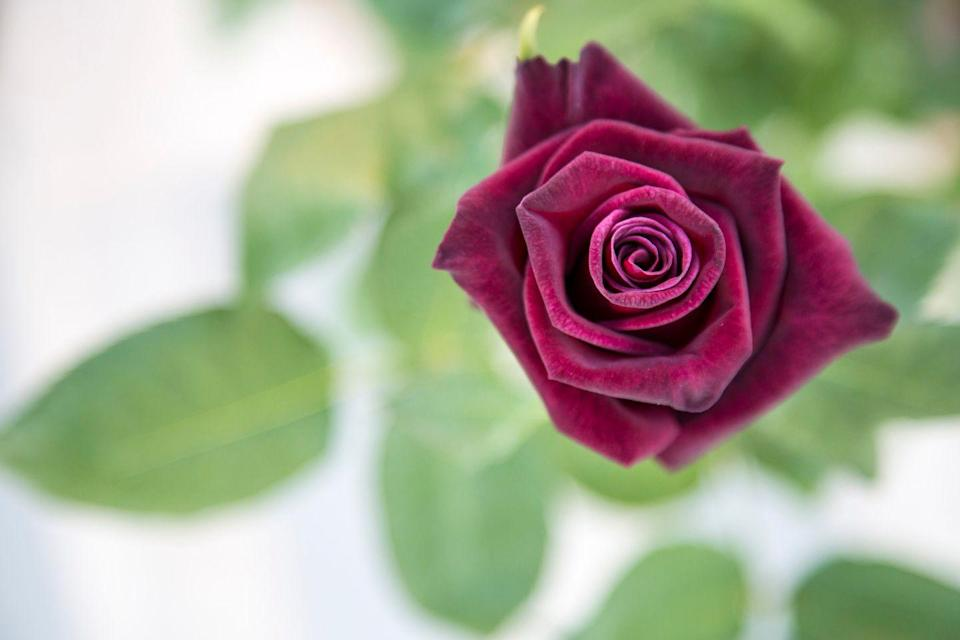"""<p>Though it may not be as traditional as the classic red rose, this<a href=""""https://www.ftd.com/blog/give/rose-color-meanings"""" rel=""""nofollow noopener"""" target=""""_blank"""" data-ylk=""""slk:merlot shade"""" class=""""link rapid-noclick-resp""""> merlot shade</a> is winter-appropriate and represents """"unconscious beauty.""""</p><p><a class=""""link rapid-noclick-resp"""" href=""""https://www.fiftyflowers.com/product/black-bacarra-red-rose.htm"""" rel=""""nofollow noopener"""" target=""""_blank"""" data-ylk=""""slk:SHOP BURGUNDY ROSES"""">SHOP BURGUNDY ROSES</a></p>"""