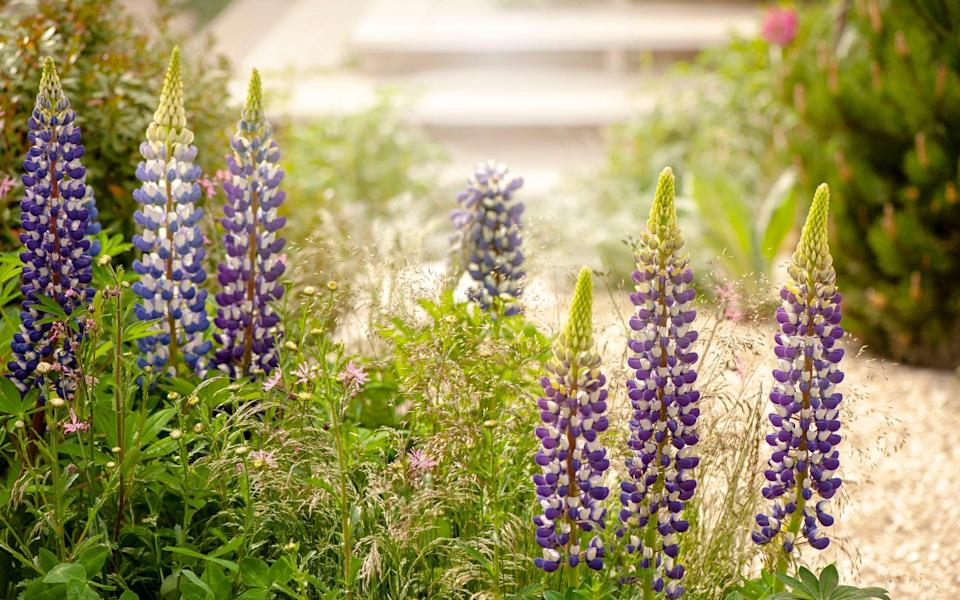 Lupins respond quickly to aggressive pruning and can give another flush of flowers - Getty Images