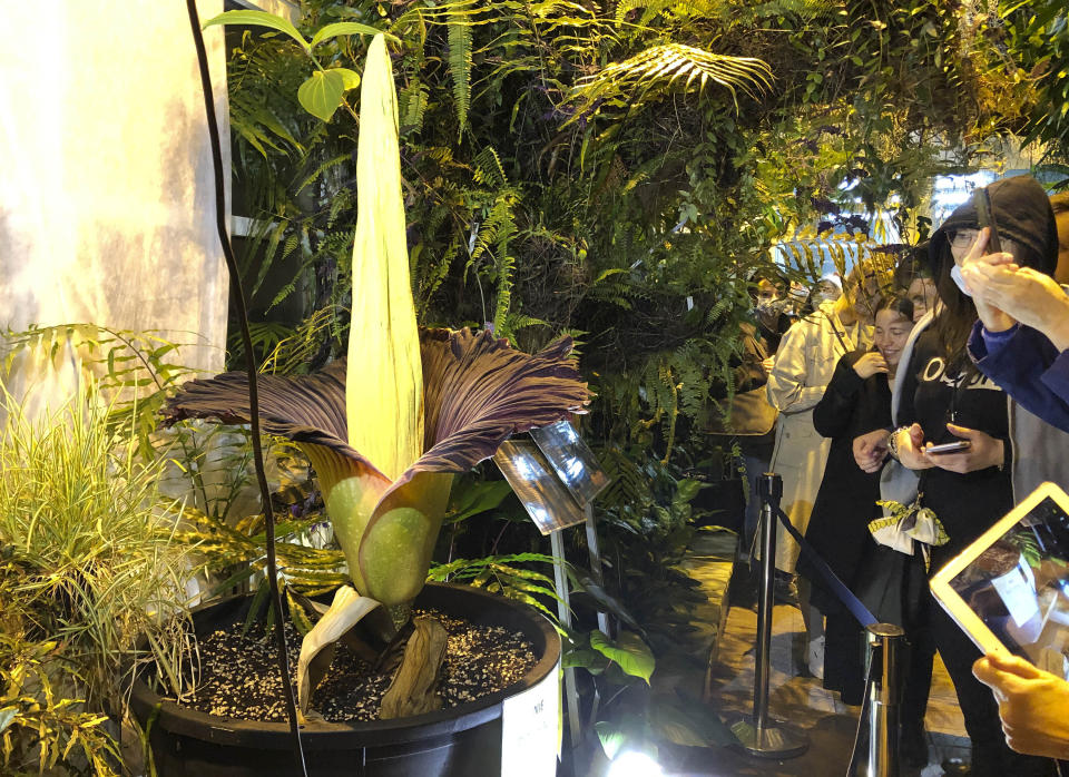 People come to see the rare blooming of the endangered Sumatran Titan arum, or the corpse flower, that is in fool bloom for just a few hours, emitting rotten meet odor, at the Warsaw University Botanical Gardens, in Warsaw, Poland, on Sunday, June 13, 2021. Hundreds of people waited for hours in cold wind to see the unusual flower, also known as Amorphophallus titanium, whose blooming is unpredictable and once in many years. Botanical gardens around the world help preserve this giant among flowers. (AP Photo/Monika Scislowska)